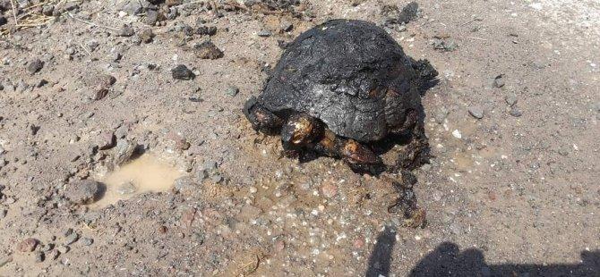 Vicdansızlar kaplumbağa telef oldu