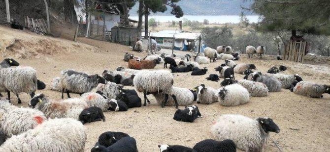 Kayseri'de yediz doğuran koyun şaşırttı