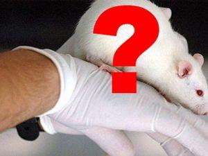 İnsan Beyni Hücreleri Nakledilen Fareler Ne Hale Geldiler?
