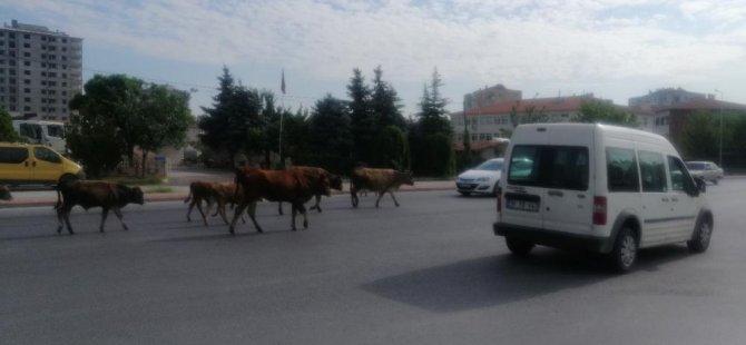 Şehrin göbeğinde hayvan sürüsü, sürücülere zor anlar yaşattı
