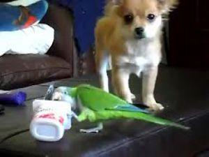Papağan ile köpeğin yoğurt kavgası-VİDEO