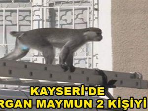 KAYSERİ'DE SALDIRGAN MAYMUN 2 KİŞİYİ ISIRDI