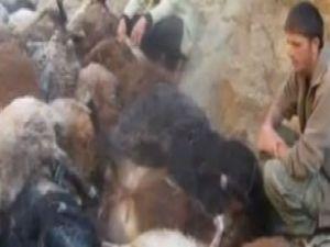 Koyunlar intihar etti: 200 koyun telef oldu-video