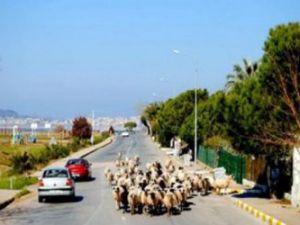 Pınarbaşı'nda otomobil koyuna çarptı