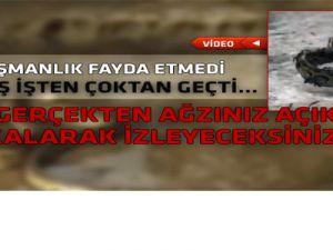 KARINCALAR DEV PİTON YILANININ CANINA OKUDULAR-VİDEO