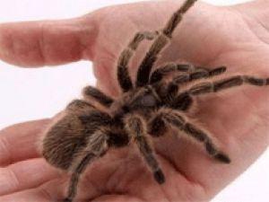 Üzerinden 200 Tarantula Çıktı