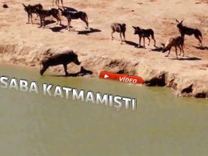 Vahşi doğada ölüm-kalım savaşı timsaha yem oldu-video