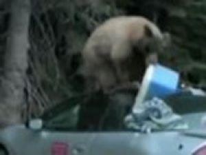 Park etmiş arabayı bir ayı soyarsa-video