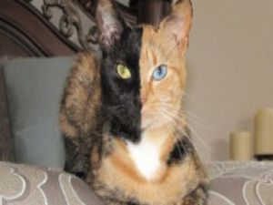 İki yüzlü kedi Venüs internetin yıldızı oldu / Video