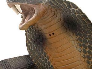 Adam kobrayı ısırdı
