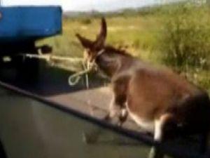 Eşeği kamyonun arkasında sürüklediler / Video