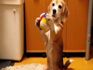 Bu köpek kalecilik yapıyor-VİDEO