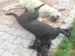 Avanos'da Köpek Katliamı İddiası