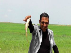 Tarladan Balık Avlıyorlar - Video