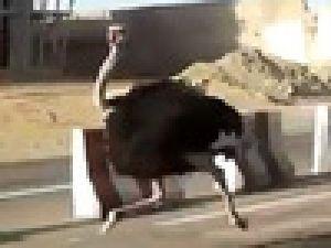 Çılgın deve kuşu trafikte terör estirdi video