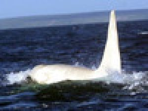 Çok Nadir Görülen Beyaz Balina Kamerada Video