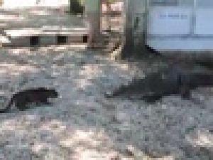 Kedi Timsahı Tek Pençeyle Korkuttu Video