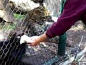 Leopara fare verirken elini kaptırdı VİDEO