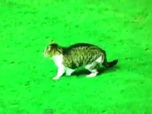 Sahaya Giren Kedi Maçı Durdurdu Video