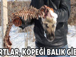 Aç kurtlar, Köpeği Balık Gibi Yedi