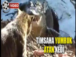 Timsaha Yumruk Atan Kedi/VİDEO