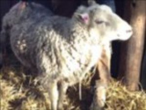 24 saatte 33 koyunu hamile bıraktı