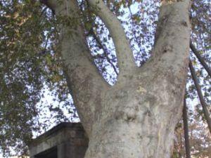 Kayseri'de Bu Ağaçlara Dokunan Yandı