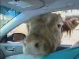 Yok artık!Arabada ineği böyle taşıdılar-VİDEO