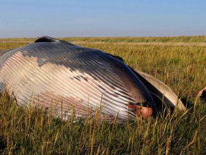 Tarlada ölü balina bulundu