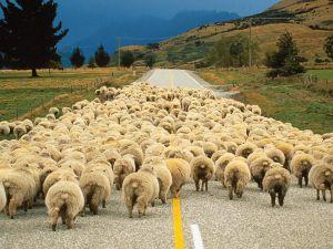 Koyunlara önce ayı sonra kurtlar saldırdı