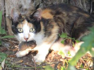 Kayseri&#39nin Pınarbaşı İlçesinde kedinin fare ziyafeti