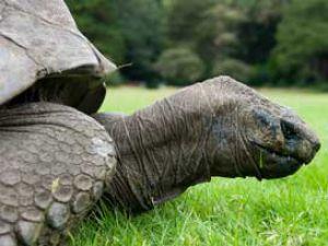 178&#39lik Kaplumbağa Jonathan!
