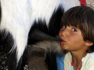 Keçi memesinden süt emiyor