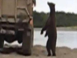 Aç ayı kamyona tırmandı-video