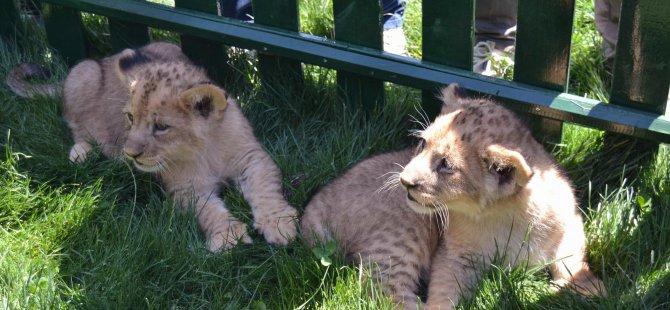 Anadolu Harikalar Diyarı 3 aslan yavrusu ziyaretçileri ile buluştu