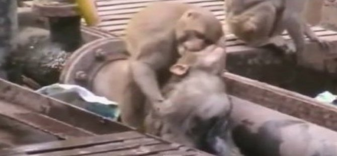 Maymundan hayat kurtaran ilk yardım-Video