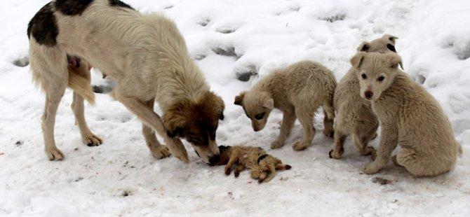 Develi'de Tavuklarına Saldıran 2 Çoban Köpeğini Öldürdü