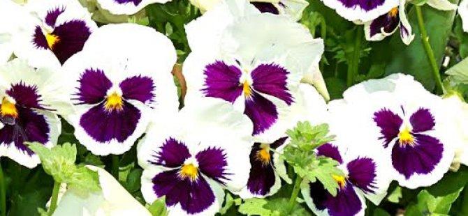 Kocasinan, Yaz Çiçekleri