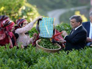 Abdullah Gül Rize'de Çay Topladı