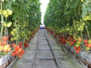 Şeker serasının kış sezonu domatesleri sofralarda yerini almaya başladı