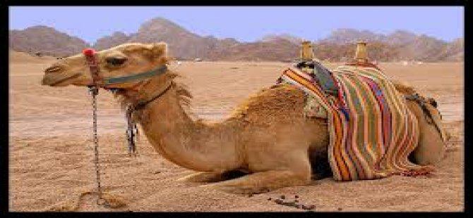 Himmetdede yoluna çıkan deveye kamyon çarptı