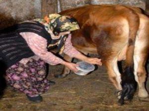 KAYSERİ'DE KADINLAR SÜT SAĞMA YARIŞMASI YAPTI