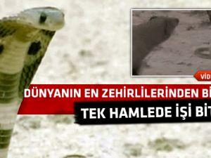 Dev Firavun faresi kral Kobraya karşı-video