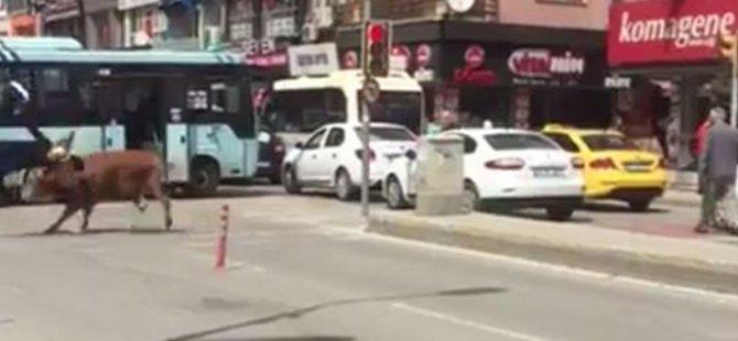 Kaçak Boğa, genç kadını hastanelik etti-Video