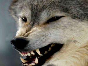 Aç kurtlar köyü bastı: 5 yaralı