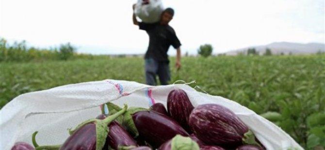 Yamula Patlıcanı Satışları Başladı