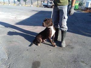 Tehlikeli köpek ırkı besleyenlere 12 bin 600 TL ceza kesildi