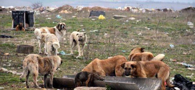 Kayseri'de Sokak Köpekleri Kısırlaştırma Operasyonu