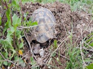 Develi ilçesinde toprağa kazarak soğuk havadan korunmaya çalışan kaplumbağa