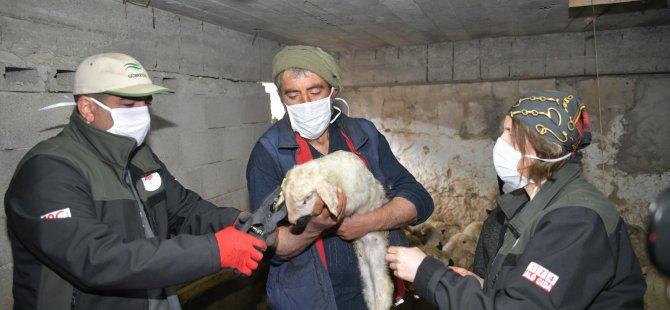 İnşaat işini bıraktı köyüne döndü 100 adet koyun aldı besiciliğe el attı